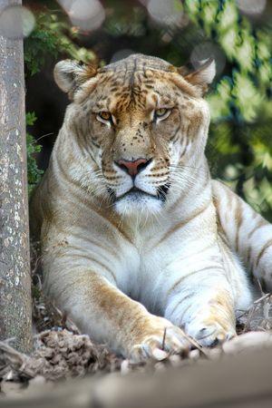 extant: Tiger