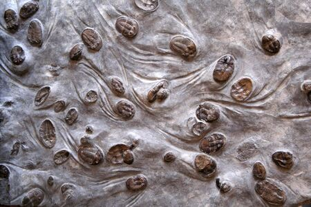 petrified fossil: Trilobites Stock Photo