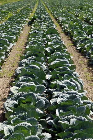 land management: Cabbage field Stock Photo