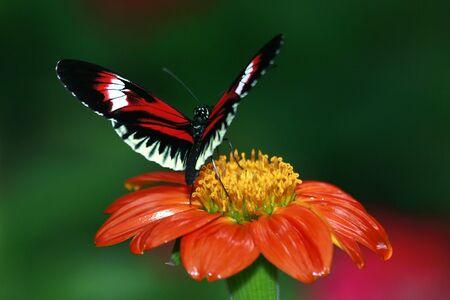 Piano Key Butterfly 2 photo
