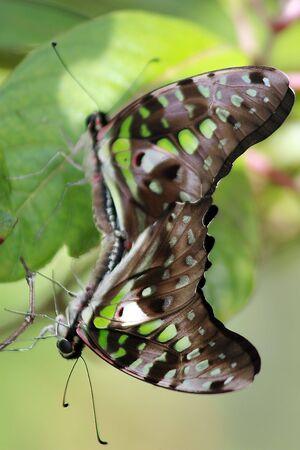 2 Tailed Jay Butterflies having fun photo