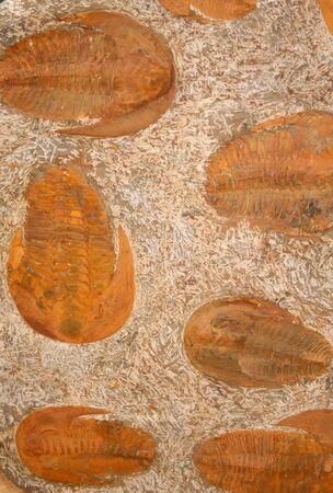 Trilobites Lancastria placenta photo