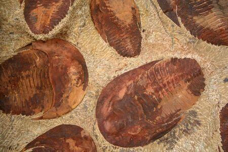 Trilobite group � Lancastria placenta photo