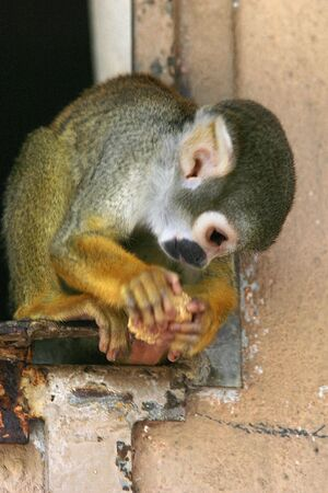 Small size Squirrel Monkey Stock Photo - 4647847