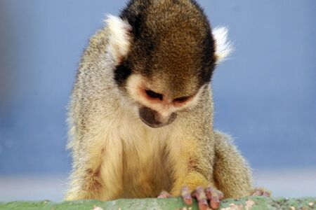 Squirrel Monkey Stock Photo - 4647832