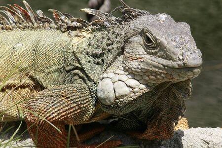 Close up of an adult Iguana photo