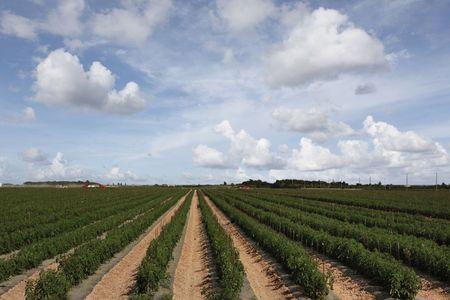 Onkruidvrij uitgezet bloeiend tomatenveld
