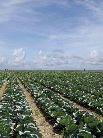 land management: Cabbage field approaching crop season