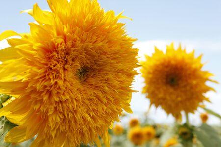 Sunflower florets captured under the sunlight right after it rained. Reklamní fotografie - 5511940