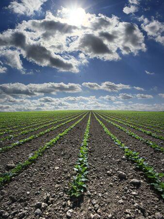 extensive: Extensive flat land green bean field