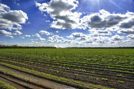 Large Squash field under bright sun Stock Photo - 8706292