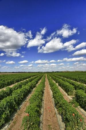 Rijen van tomatenplanten bijna oogst Stockfoto