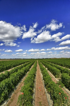 green leafy vegetables: Rows of tomato plants nearing harvest