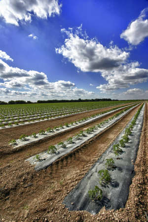Rows of young tomato plants in clean bedding photo