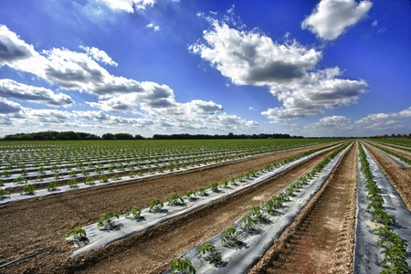 green leafy vegetables: Rows of young tomato plants in clean bedding Stock Photo