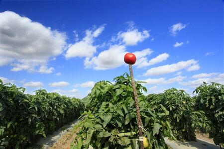 Ripe tomato signaling the row is ready for harvesting photo