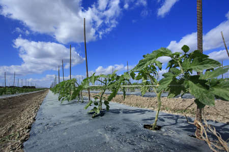 Young tomato plants tied to prevent soil contact photo