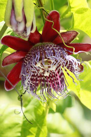 Passiflora vines bloom photo