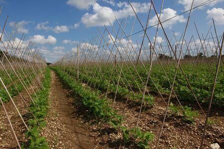 planta de frijol: Plantas de frijol y enrejados