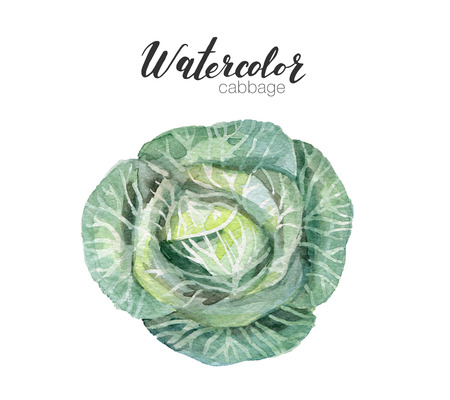 Illustration of watercolor vegetable. food hand drawn cabbage