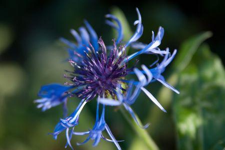 蜂香油の花 写真素材