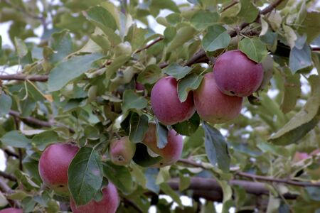 organic red apples with leaves on  branch