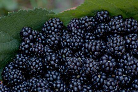 basket with  organic bio  blackberry Stock Photo