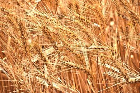 Golden harvest wheat ecological farm plant Stock Photo