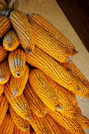 Beautiful golden colored organic dry harvest corn Stock Photo