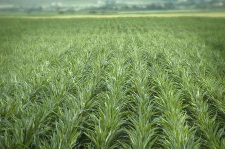 Gren field of corn chain