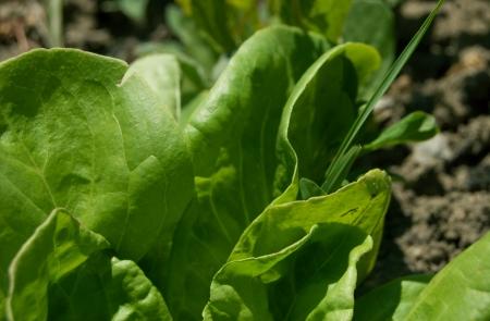 Fresh lettuce made in a farm