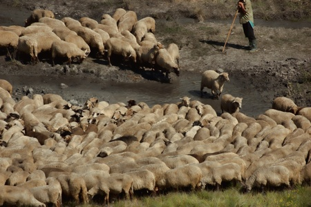 Traditional sheep herd in water