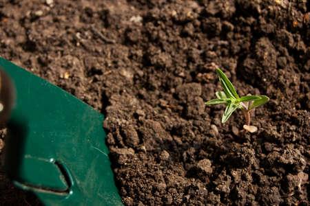 fresh green thyme gardening with shovel Stock Photo - 16417211