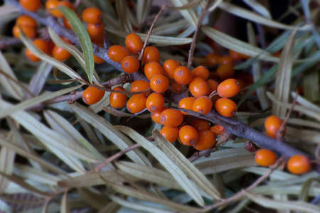 buckthorn: fresh sea buckthorn branch with leaves Stock Photo