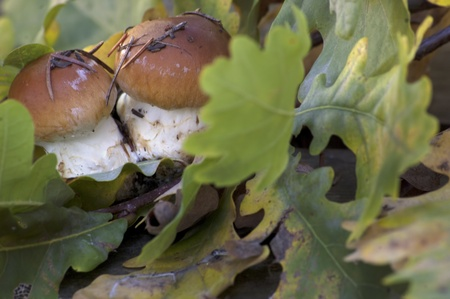 forest mushrooms with colorful oak leaves
