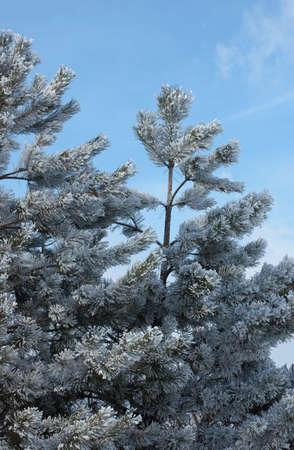 Tannenzweig mit Raureif und blauem Himmel im Hintergrund Lizenzfreie Bilder
