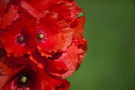 rote Mohnblume im Feld mit gr�nem Hintergrund