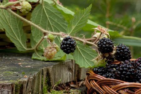 Brombeere Schalt ihren Platz in der Natur in einem Korb