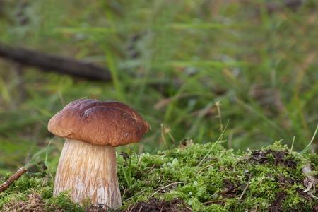 edulis: raw boletus edulis isolated in green surroundings