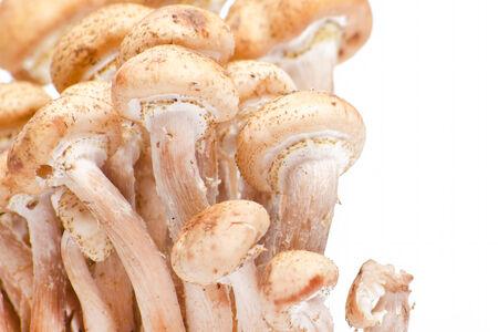 Hallimasch frischem Honig Pilz auf wei�em Hintergrund