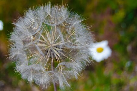 close view of fluffy taraxacum officinale and grass Stock Photo
