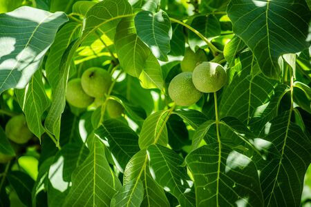 nut tree with green leaves and fruits