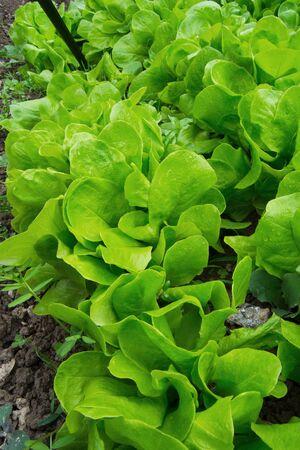 fresh green lettuce leaves in ecological garden Stock Photo