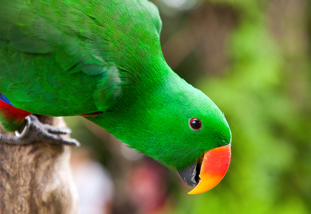 eclectus parrot: Bright Colorful Green Eclectus Parrot on branch