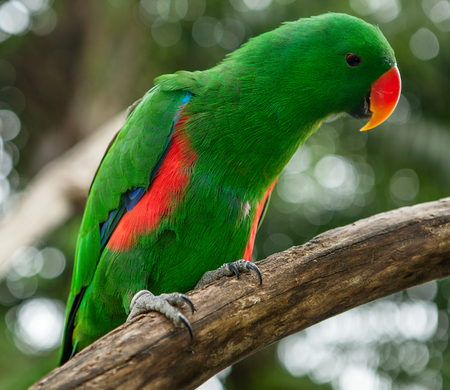 Bright Colorful Green Eclectus Parrot on branch
