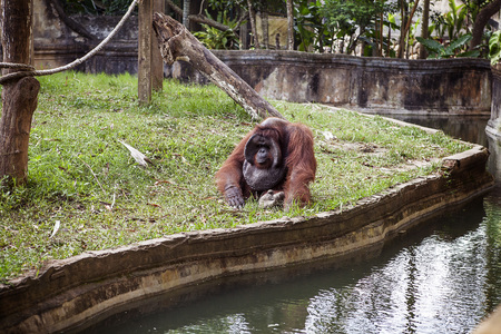 pongo: The adult male of the Dominant male orangutan with the signature developed cheek pads that arise testosterone surge . Zoo in Bali