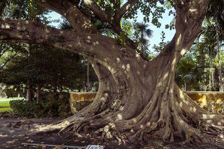 large tree: Big old green tree in Miami city