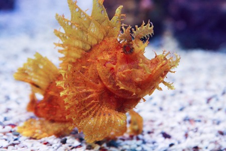unnatural: Weedy Scorpionfish Rhinopias frondosa , animal life in the underwater Stock Photo