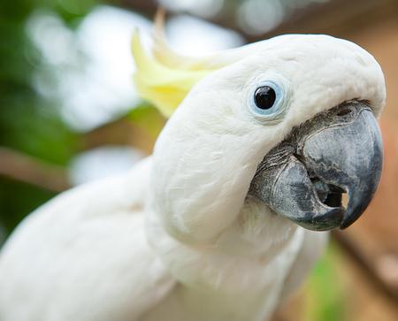 Sulphur-crested cockatoo close up a curious white parrot