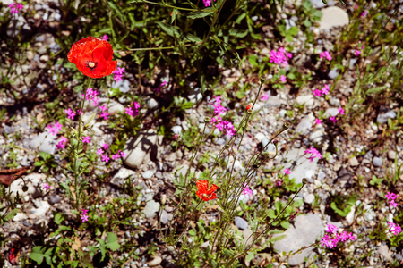 A summer meadow of wildflowers and Poppies